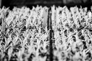 fotograf.stina .gronbech.organic.farm8  300x200 fotograf.stina.gronbech.organic.farm8